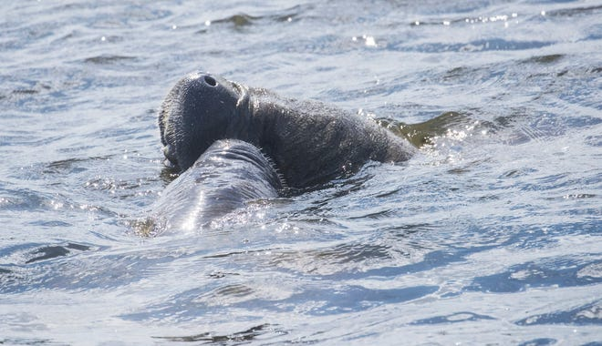 Manatees bump into each other on the east side of Franklin Locks on Tuesday, May 18, 2021. They were seen several meters away from algae mats. A record number of manatees died that year. The Florida Fish and Wildlife Conservation Commission will be speaking about the mortality event in Bonita Springs.