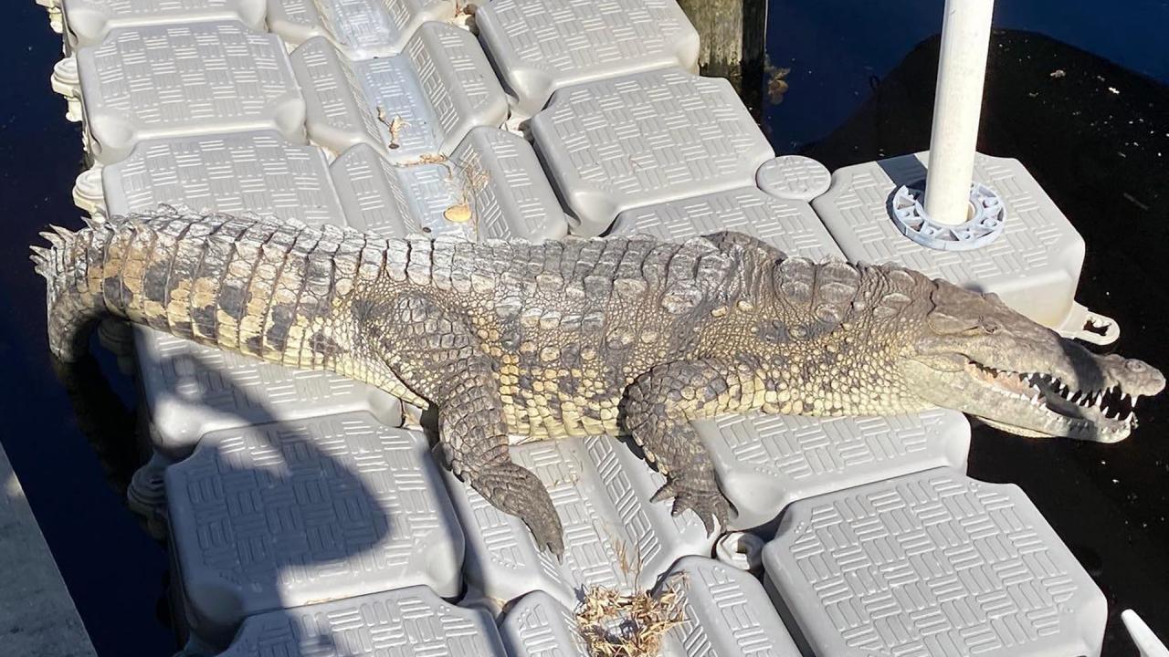 A 70-year-old woman finds crocodile in the backyard of Punta Gorda