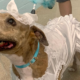 Cape Coral shelter throws doggie wedding to help a special pup get adopted