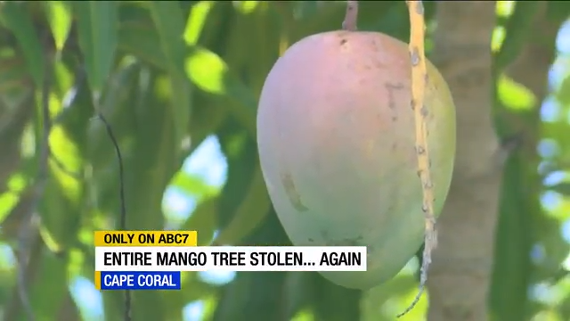 Cape Coral woman's mango trees stolen twice from front yard